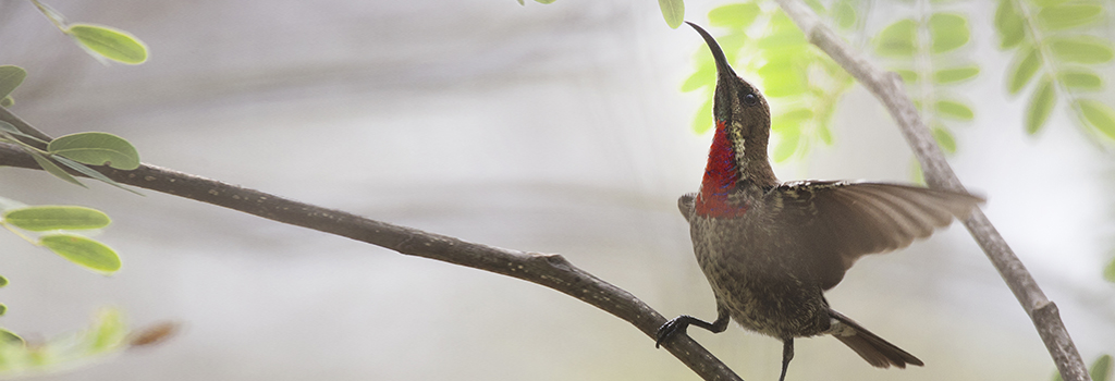 Juvenile-Scarlet-Chested-Sunbird_slider